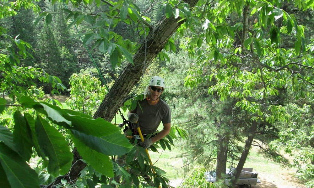 photo of aero acton certified arborist climbing a tree