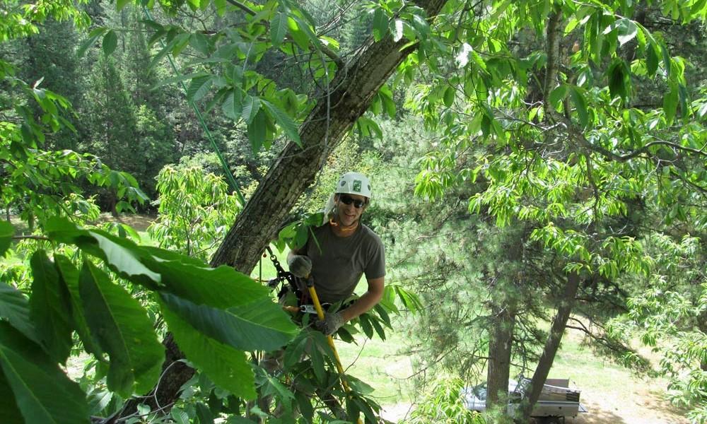 photo of aero acton certified arborist climbing a tree