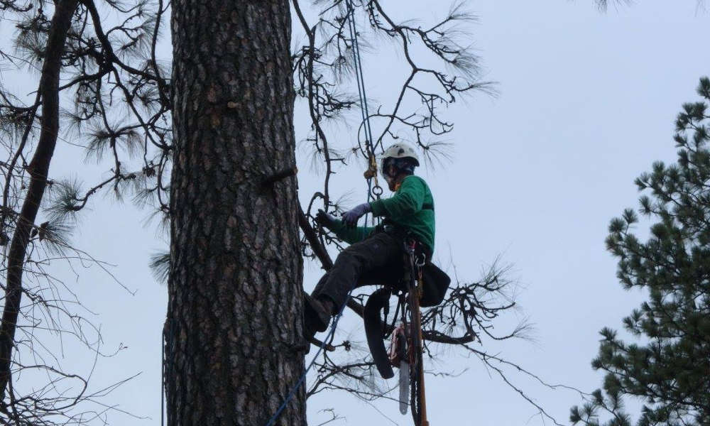 photo of aero acton ISA certified arborist at the top of a tree